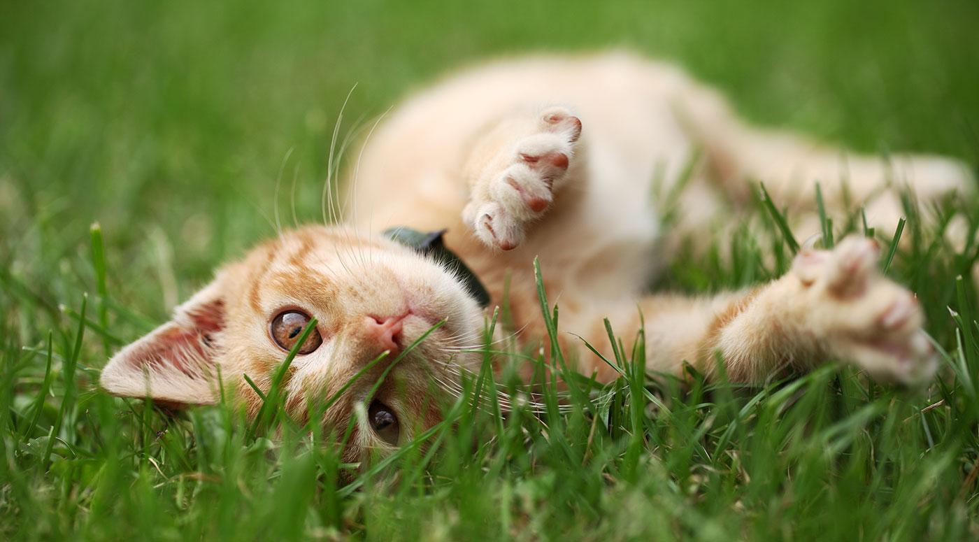 aarf-cat